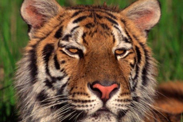 Según la Fundación Vida Silvestre, posiblemente tan sólo 3.200 tigres permanezcan actualmente en el mundo.