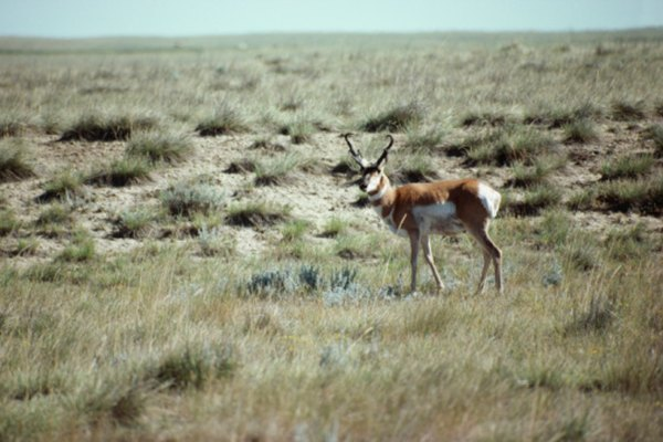 Las adaptaciones a las praderas benefician a los animales que pastorean allí.