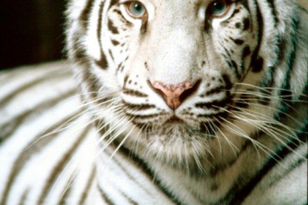 El pelaje blanco es extremadamente raro en los tigres siberianos.