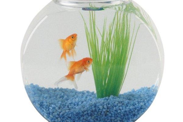 Los peces carroñeros como el koi o el corydoras pueden ayudar a los otros peces a mantener el acuario saludable.