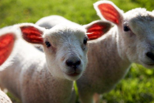 Las ovejas son los animales que mastican, rumian y tienen pezuñas hendidas.