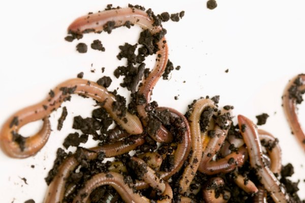 Las lombrices de tierra se adaptaron para moverse a través del suelo.