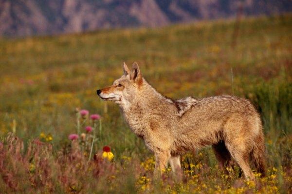 El hábitat de los coyotes y de los linces es el mismo.
