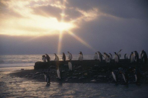 Los pingüinos reales son reconocidos por la mayoría de los científicos como una especie distinta.