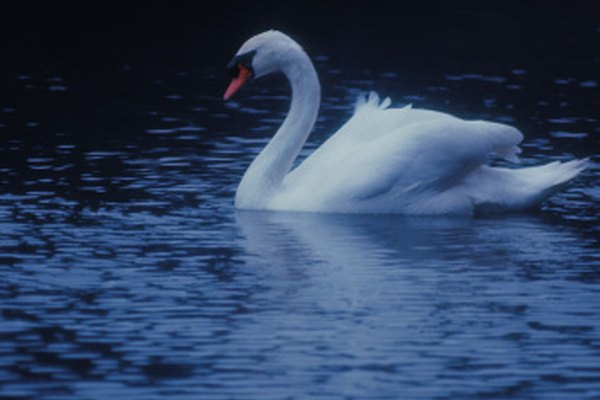 El cisne mudo es la raza más reconocida.