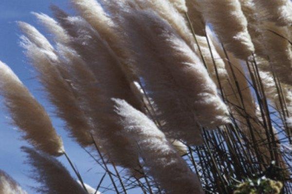 Las grandes plumas de las Pampas se ven muy hermosas tanto cuando se secan como cuando no.