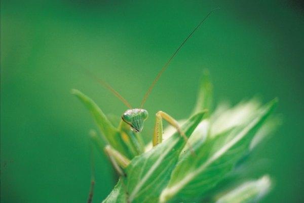 La mantis religiosa pertenece a la familia de insectos de los mantidae.