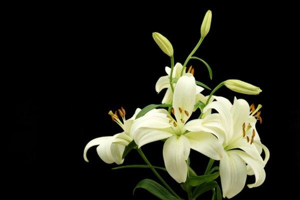 El lirio se usa a menudo en los funerales.