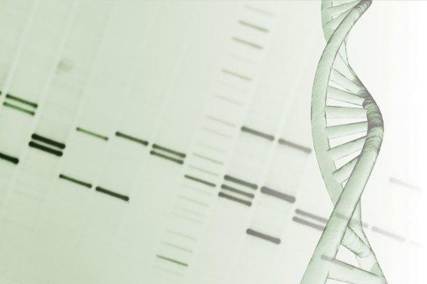 Los científicos usan electroforesis en gel para determinar la longitud de los fragmentos de ADN.