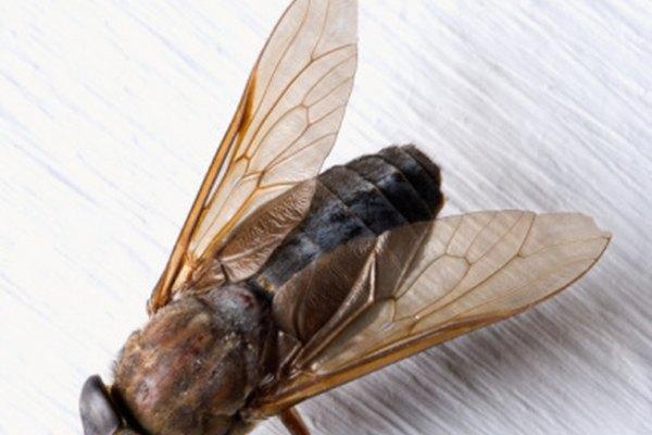 Los tábanos son parásitos peligrosos porque transmiten enfermedades en animales más grandes y mascotas.