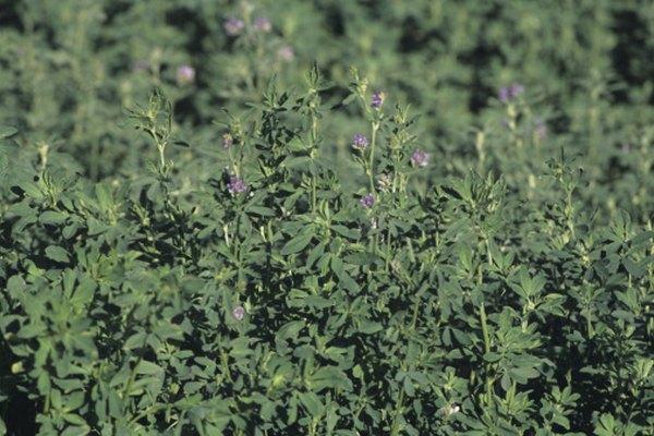 La alfalfa envía sus raíces profundas en el suelo.