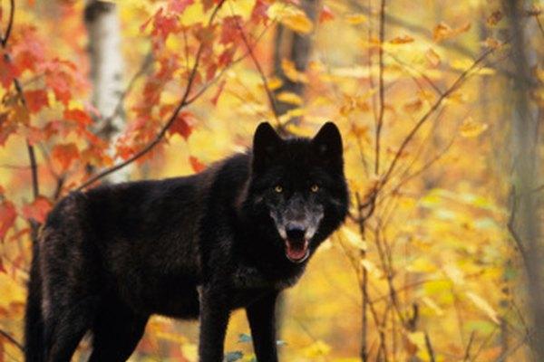 El otoño puede llegar a ser devastador en función de sus presas.
