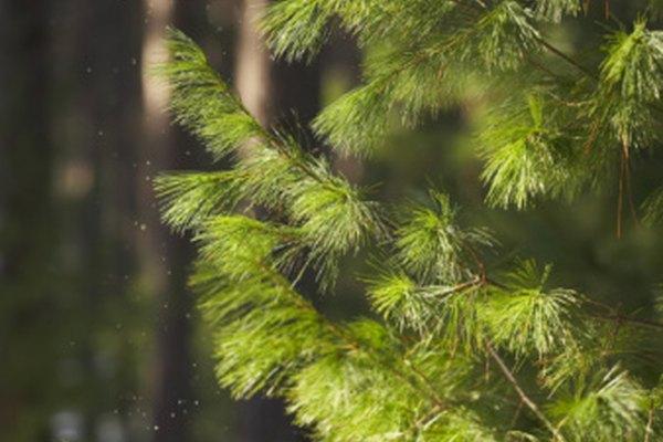 Al igual que cualquier otra planta, un pino necesita cuidado para florecer.