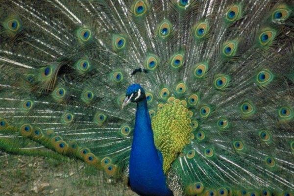 Un pavo real muestra las impresionantes plumas de la cola.