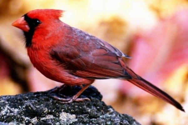 Un cardenal norteño posado sobre una roca.