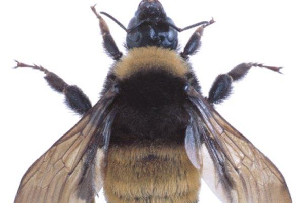 Ahuyentar a los abejorros con métodos naturales es recomendable si es posible.