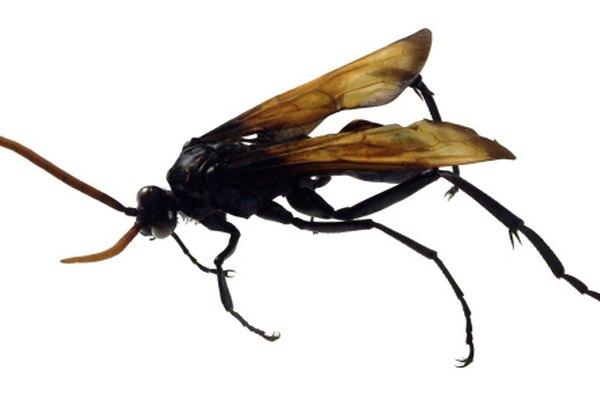 Las halcones tarántula son un tipo de avispa excavadora.