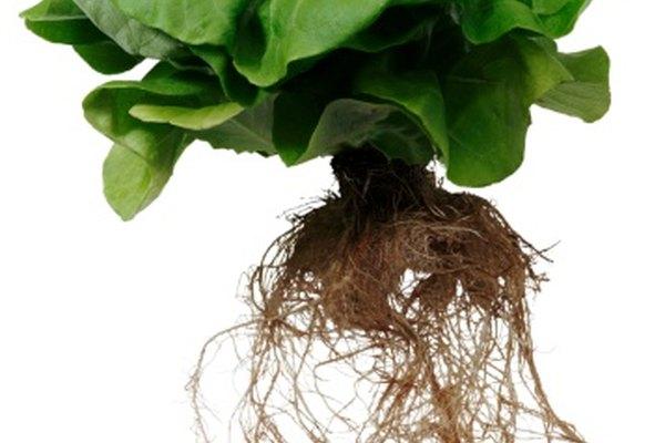 Unas mechas de algodón son preferibles a las de nailon en la alimentación de las plantas hidropónicas.