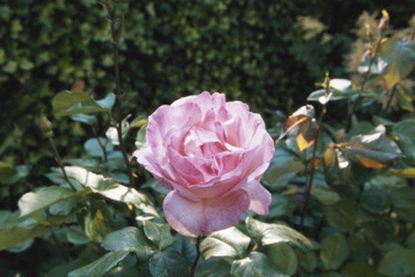 Mantén las rosas hermosas manteniendo al punto negro a raya.