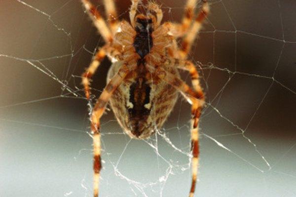 Muchas especies de arañas rayadas pueden encontrarse en tu propio hogar.