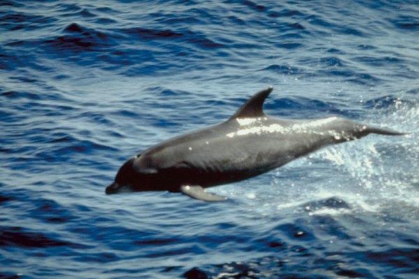Las aletas de los delfines dorsales son lisas y redondeadas, mientras que las del tiburón son rectas y angulares.
