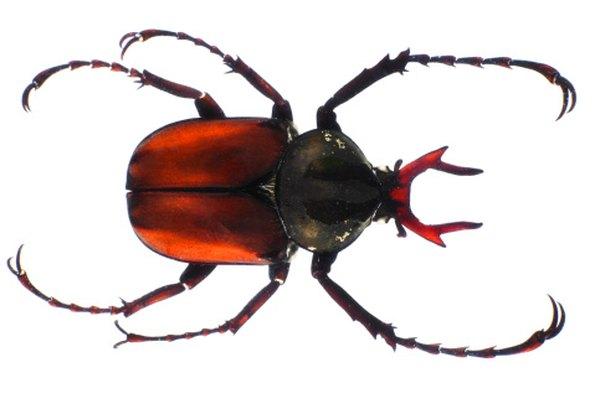 Los escarabajos son comunes en los jardines y áreas boscosas.