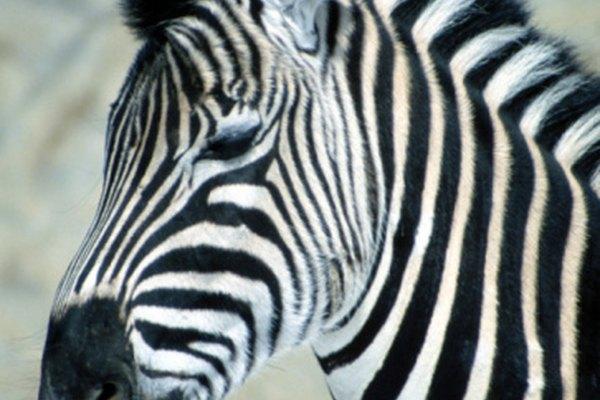 Las cebras y los caballos tienen cromosomas diferentes.