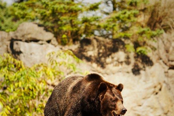 Los osos cazan una variedad de animales pequeños.