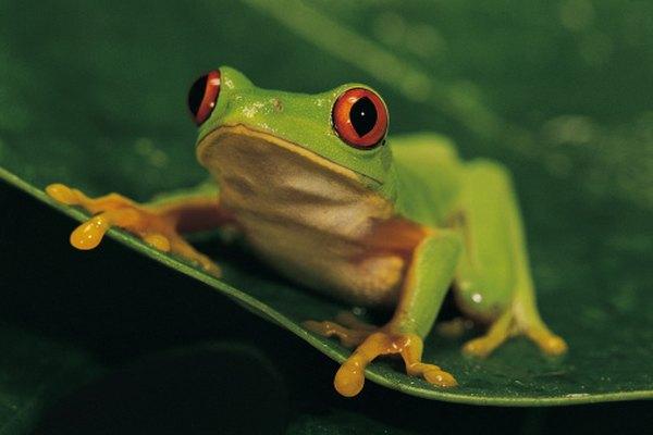 Las ranas son a menudo diseccionadas en las clases de ciencias de la escuela secundaria.
