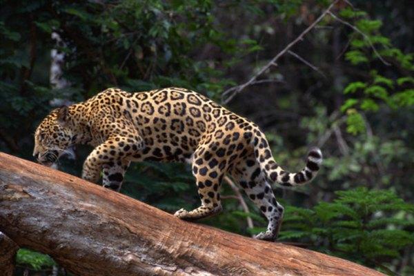 Las selvas tropicales son el hogar de árboles productores de oxígeno y de vida silvestre impresionante.