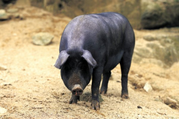 A List of States That Have Feral Hogs | Animals - mom me