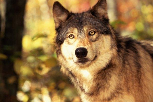 Alucard de Castlevania es un cambia formas con la capacidad de transformarse en lobo.