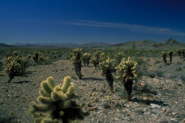 Los frijoles saltarines se encuentran a través de desiertos del suroeste.