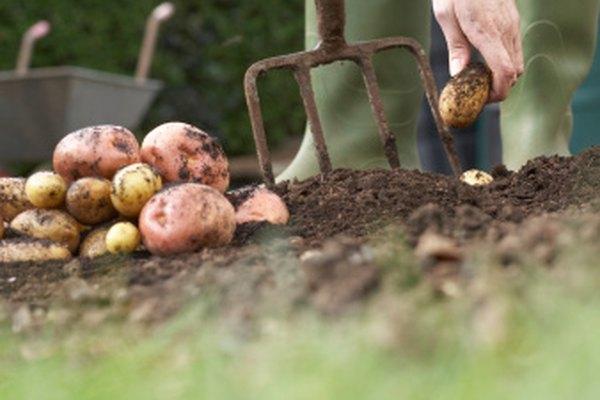 Las primeras patatas en los Estados Unidos se plantaron en New Hampshire.