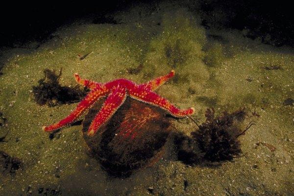 El desarrollo de la estrella de mar sigue el patrón deuterostómico.
