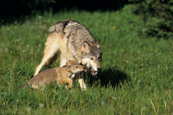 Las crías salen con su madre durante los meses de verano.