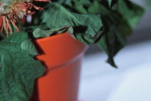 La pérdida de agua de las vacuolas causa que las plantas se marchiten.