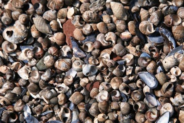Las conchas marinas se dividen en seis clases y se encuentran por las playas de todo el mundo.