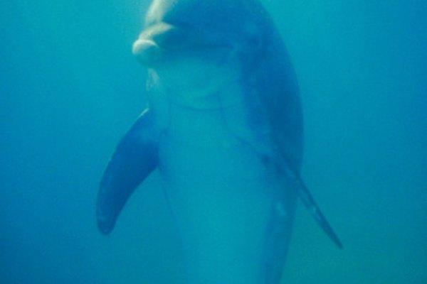 Los delfines nariz de botella viven juntos en manadas.