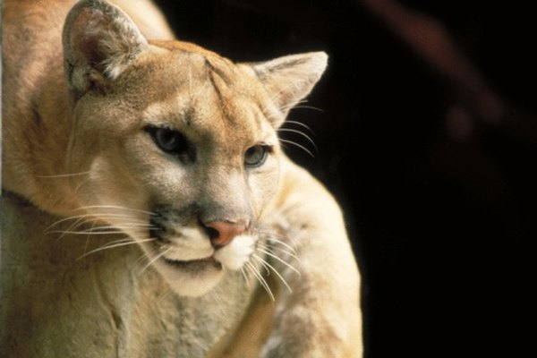 Los leones de montaña son cazadores astutos capaces de sobrevivir en una gran variedad de hábitats terrestres.