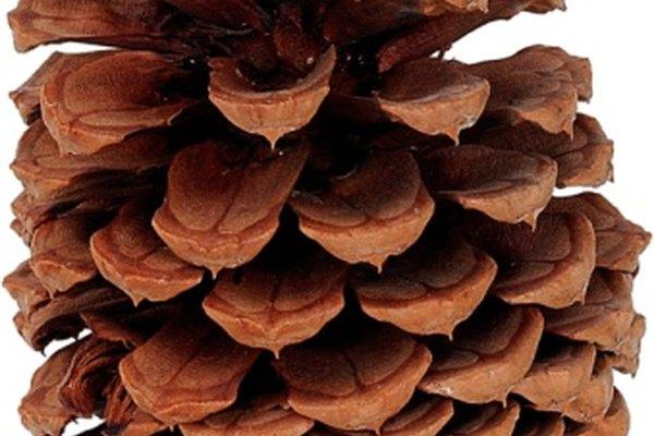 Las brácteas de los conos de coníferas se abren cuando las semillas han madurado.
