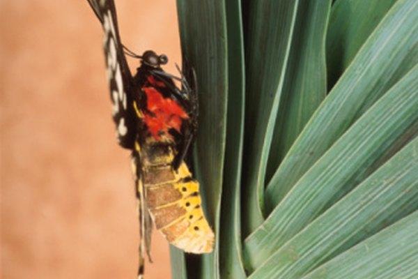 Una serie de cambios hormonales y de temporada indican la transformación de la oruga.