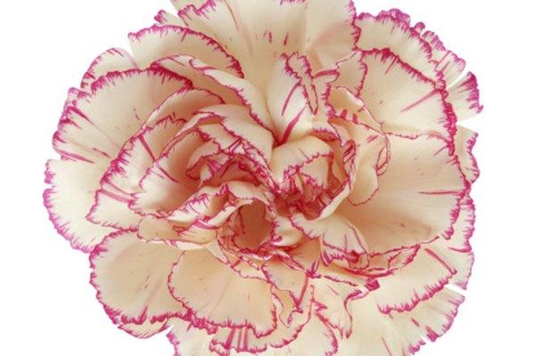 Experimento sobre tinción en claveles utilizando su tejido vascular.
