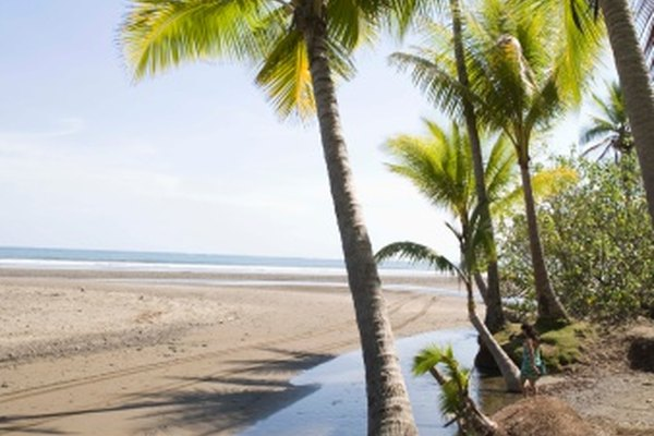 Las palmeras son monocotiledóneas.