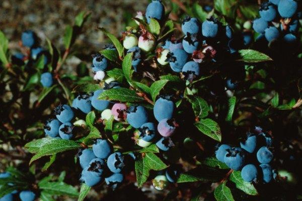 Los arándanos maduran entre el verano y el otoño.