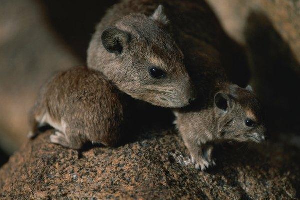 Las ratas pueden difundir enfermedades a los humanos y otros animales.