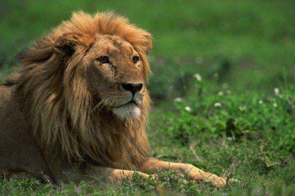El león aprendió que un amigo, sin importar cuán pequeño sea, puede ser un gran aliado.