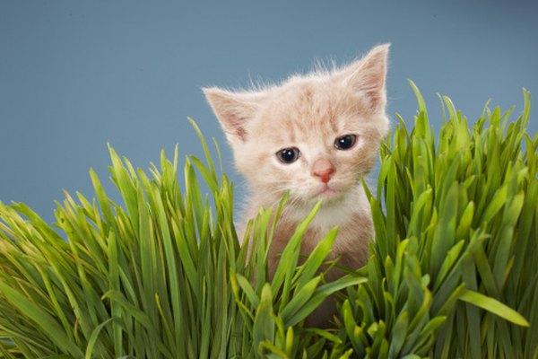 A menudo los gatos mastican hierba.