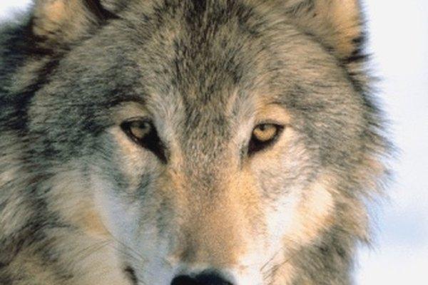El lobo gris puede encontrarse en los climas fríos de tres continentes.