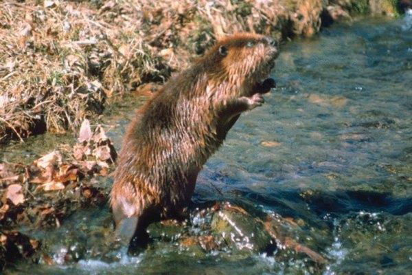 Los castores bloquean y dañan las vías fluviales con sus represas.